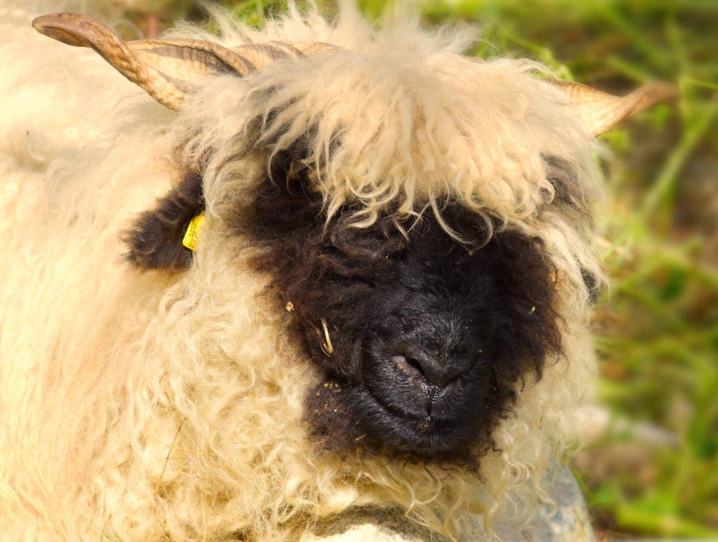 zwartneusschaap Zermatt